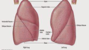 akciğerin anatomisi